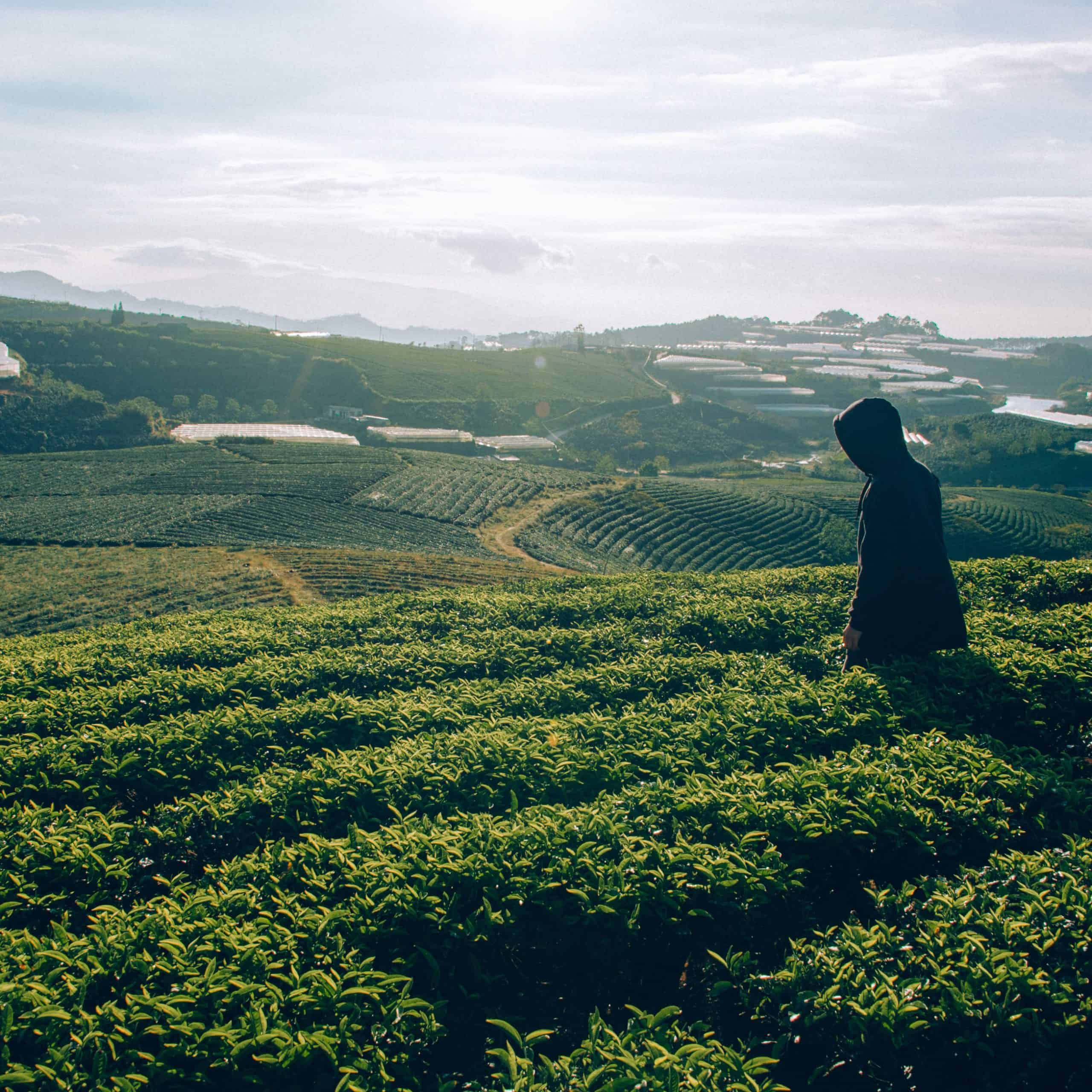 tea field with a man