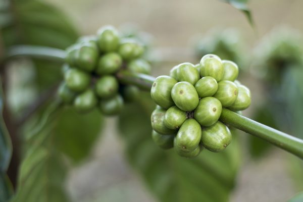 we tested the best green coffee beans for weight loss