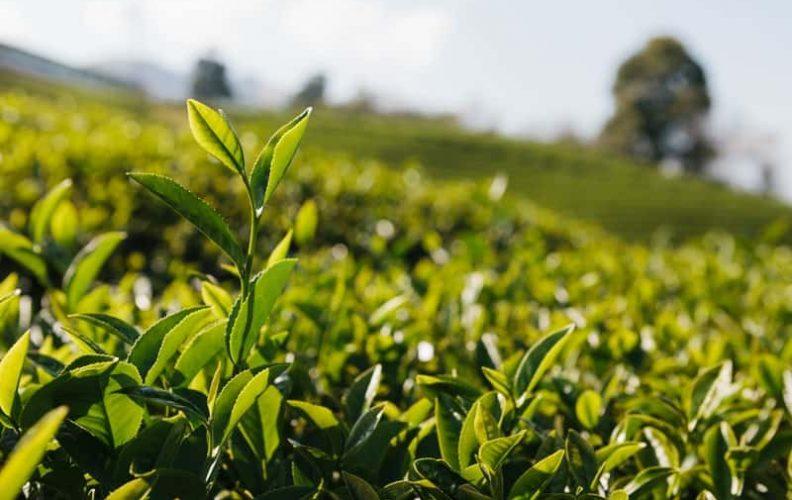 black tea vs white tea. Which one?