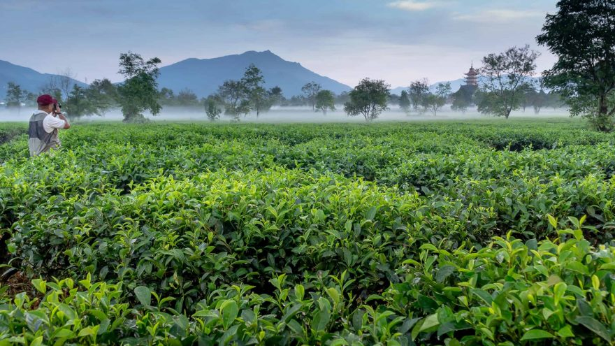 green tea vs white tea